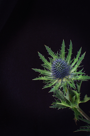Single thistle highlighted against a black background Banco de Imagens
