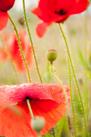 Red poppy with dew on its petals on a wet spring morning