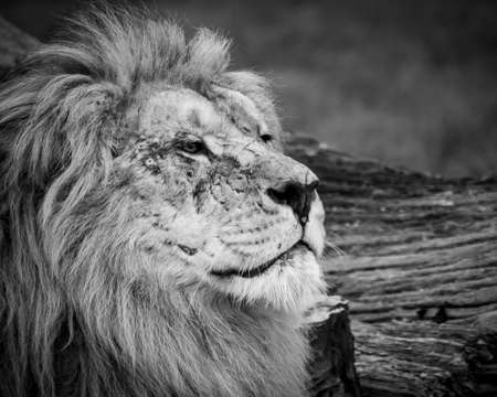 Black and white close up image of a majestic, battle-scarred male lion's face 免版税图像