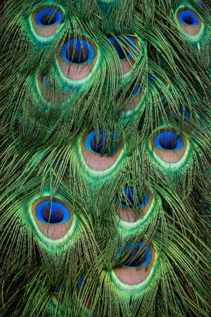 A closeup image of a male peacock's colorful feathers