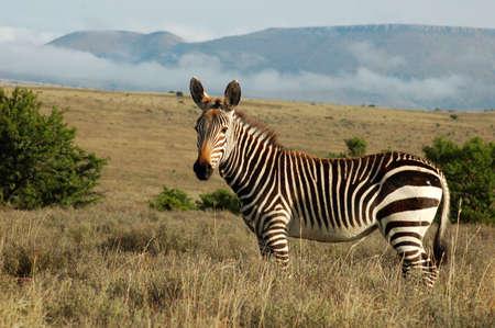 cebra: Este es el Cabo de monta�a Zebra, una de las m�s endagered mam�feros en el mundo, en silvestre y su natural habitiat en el sur de �frica.