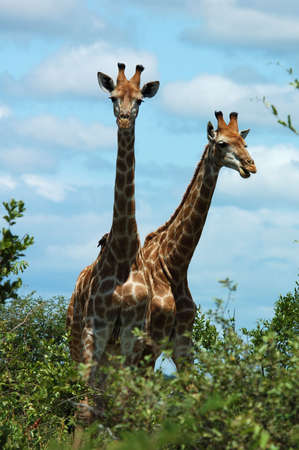 Giraffe in the bushveld of South Africa. Stock Photo - 2355871