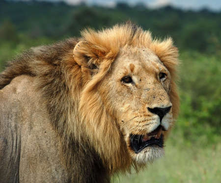 A male lion in the Kruger Park, South Africa. photo