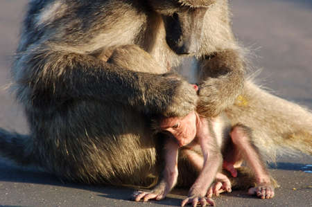 A chacma baboon grooming her young photo