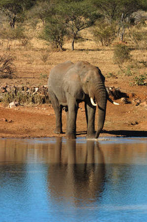 gigantic: An African Elephant bull drinking water in the Kruger National Park, South Africa. Stock Photo