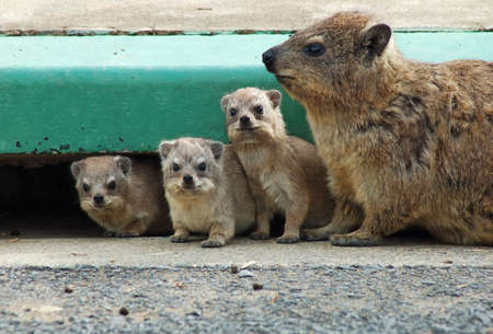 Cape Hyrax, or Rock Hyrax, (Procavia capensis) wild in South Africa. photo
