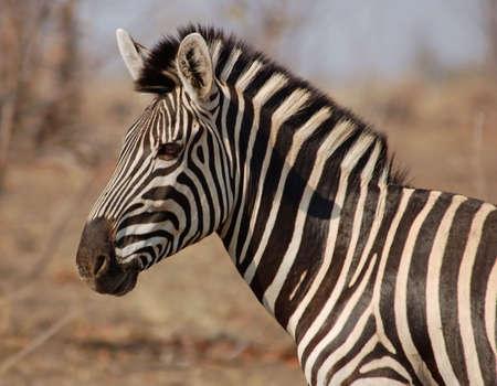 Africa Wildlife: Zebra Stock Photo - 3896849