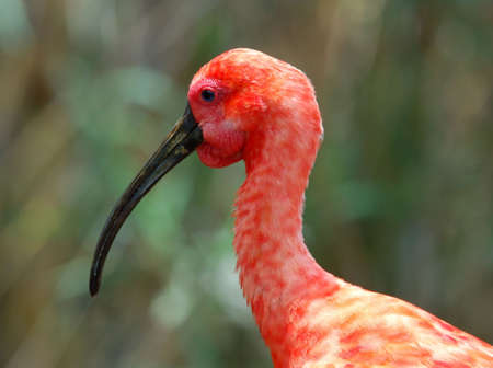 inhabits: The Scarlet Ibis (Eudocimus ruber) is a species of ibis that inhabits tropical South America and also Trinidad and Tobago.
