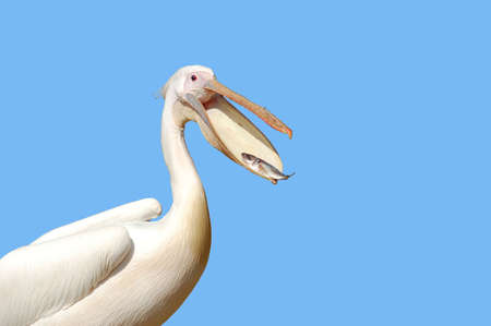 A Great white pelican (Pelecanus onocrotalus) eating a fish Stock Photo - 3896843