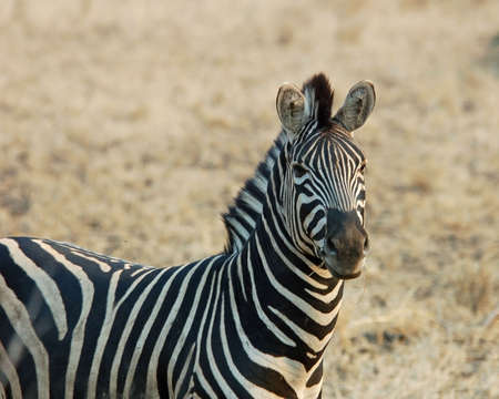 A Burchell's Zebra in the Kruger National Park, South Africa. Stock Photo - 3896848