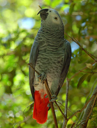 The Congo African Grey Parrot (Psittacus erithacus), endemic to  rainforest of West and Central Africa, and is one of the most intelligent birds. Stock Photo - 3911383
