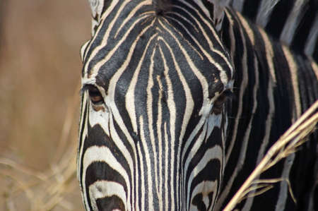 A Burchells Zebra showing the unique skinn patern closeup. Stock Photo - 3911395