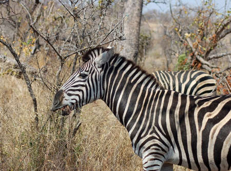 A Burchells Zebra grazing on dry grass during a period of drought in Africa. Stock Photo - 3911406