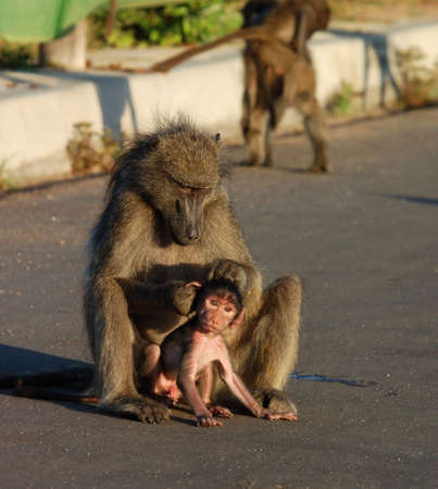 kruger park: A chacma baboon grooming her infant son in the road, photographed in South Africa. Stock Photo