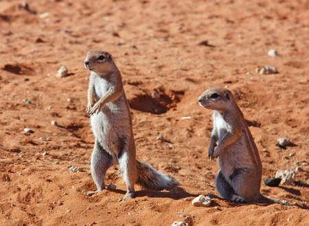Ground Squirrels in the Kalahari Desert, South Africa photo