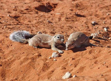 burrows: Ground Squirrels in the Kalahari Desert, South Africa