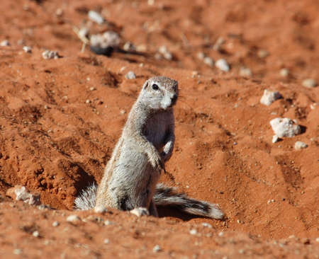 burrows: A Ground Squirrel in the Kalahari Desert, South Africa