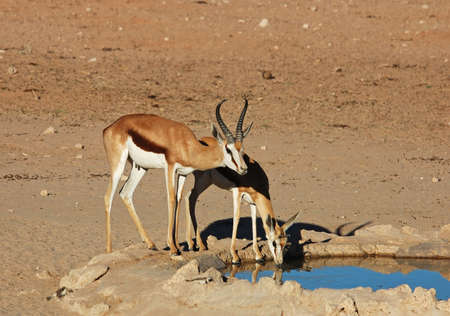 Springbok Antelope at a water hole in the Kalahari Desert, Southern Africa. photo