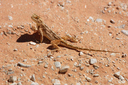 aculeata: Female Ground Agama (Agama aculeata) in the Kalahari Desert, Southern Africa.