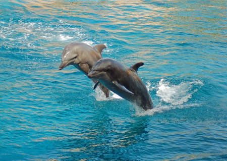 Dolphins performing synchronized swimming at an oceanarium in South Africa. photo