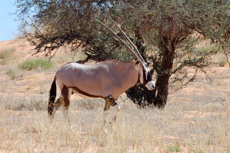Female Gemsbok Antelope in the Kalahari Desert. photo