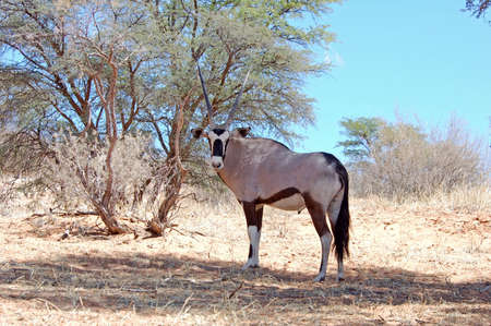 Gemsbok Antelope (Oryx gazella) photo