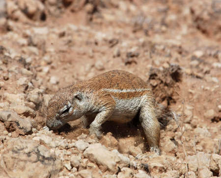 burrows: A Ground Squirrel in the Kalahari Desert, South Africa, looking for food in the ground.