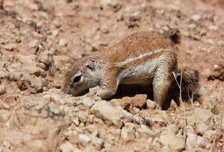 A Ground Squirrel in the Kalahari Desert, South Africa photo
