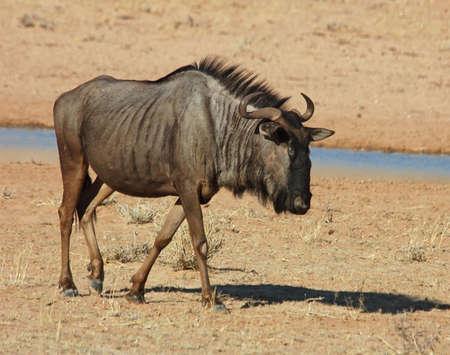 taurinus: Blue wildebeest (Connochaetes taurinus) in the Kgalagadi Transfrontier Park, Kalahari desert, Southern Africa