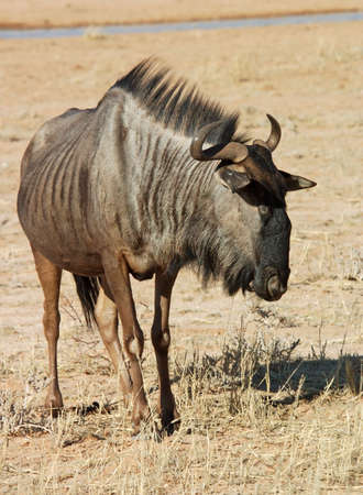 kgalagadi: Blue wildebeest (Connochaetes taurinus) in the Kgalagadi Transfrontier Park, Kalahari desert, Southern Africa