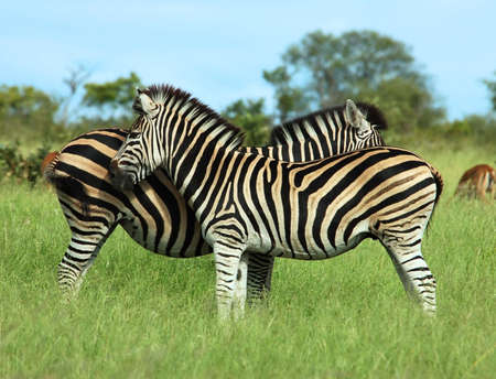 A Burchells Zebra Stock Photo - 3929213