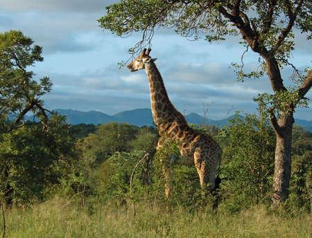 mammalia: Giraffe in the bushveld of South Africa.