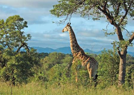 chordata: Giraffe in the bushveld of South Africa.