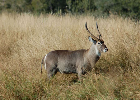 ungulate: Waterbuck (Kobus ellipsiprymnus) in the Kruger Park, South Africa.