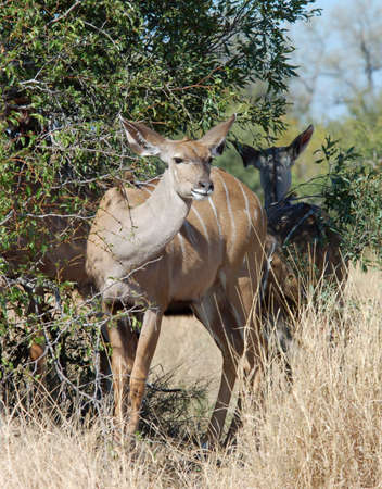 Kudu Antelope (Tragelaphus strepsiceros) in the Kruger Park, South Africa, during the dry season. photo