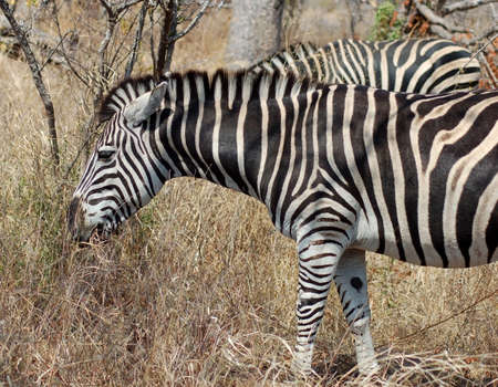 A Burchells Zebra (Equus quagga burchelli) in the Kruger Park, South Africa. Stock Photo - 5195680