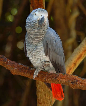 The Congo African Grey Parrot (Psittacus erithacus), endemic to  rainforest of West and Central Africa, and is one of the most intelligent birds. Stock Photo - 5315988