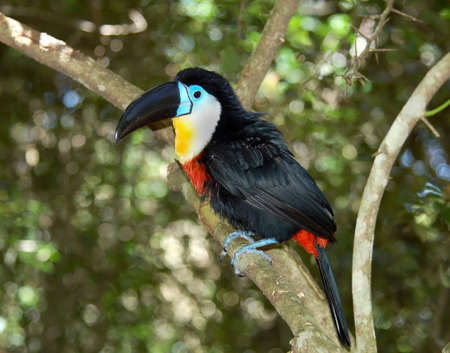 bird sanctuary: Toukan Bird in a bird sanctuary.