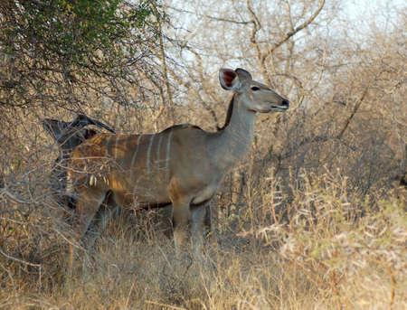 Kudu Antelope (Tragelaphus strepsiceros) in the Kruger Park, South Africa, during the dry season. photo