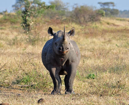 A Black Rhinoceros in the Kruger Park, South Africa, about to charge. photo