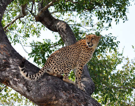 A male Cheetah in a tree in the Kruger Park, South Africa. photo