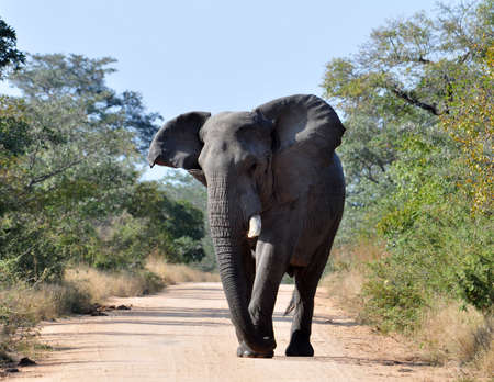 pachyderm: An aggressive African Elephant in the Kruger Park, South Africa. Stock Photo