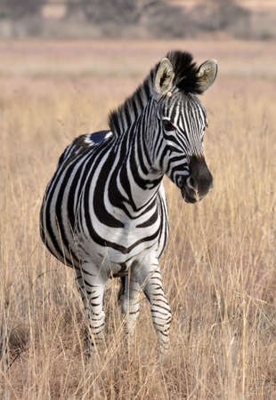 A Burchells Zebra (Equus quagga burchelli) in South Africa. photo