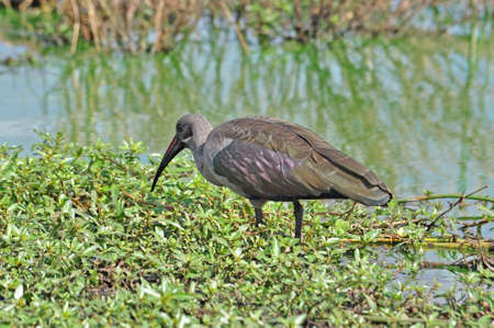 wade: A pair of Hadida Ibis wade birds in the Kruger Park, South Africa,