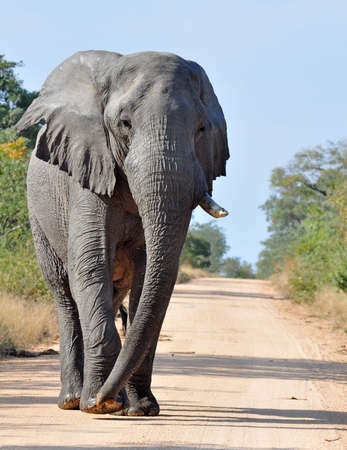 African Elephant in the Kruger Park, South Africa. photo