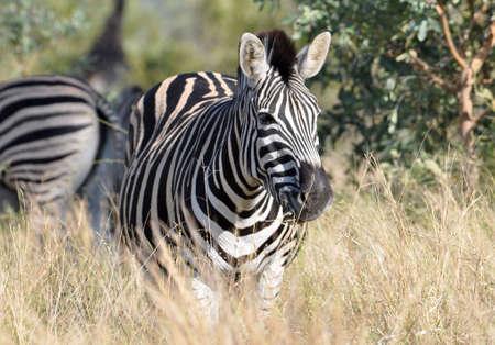 A Burchells Zebra (Equus quagga burchelli) in the Kruger Park, South Africa Stock Photo - 7536248