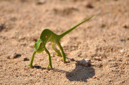 africa chameleon: African Green Chameleon in dry ground in South Africa Stock Photo