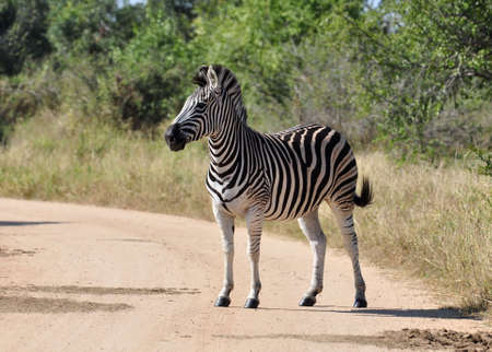 A Burchells Zebra (Equus quagga burchelli) in the Kruger Park, South Africa Stock Photo - 7536276
