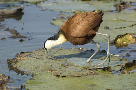 jacana: African Jacana in a lake in South Africa. Stock Photo
