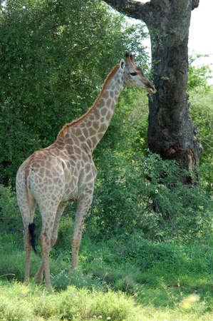 Jeune femme girafe en Afrique. Banque d'images - 7624315